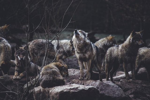 inner wolves